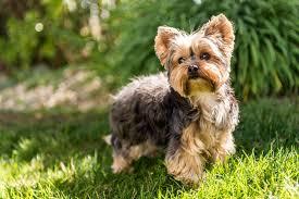 Yorkshire Terriers & Pomeranians